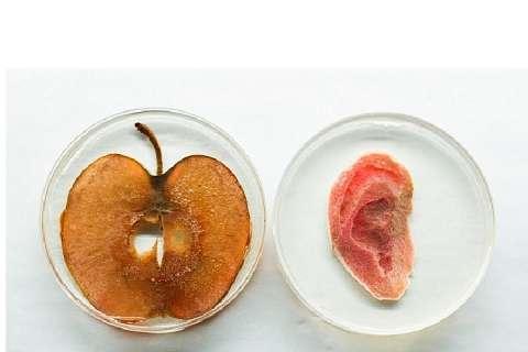 Ухо из яблока: ученые создали человеческий орган из растения